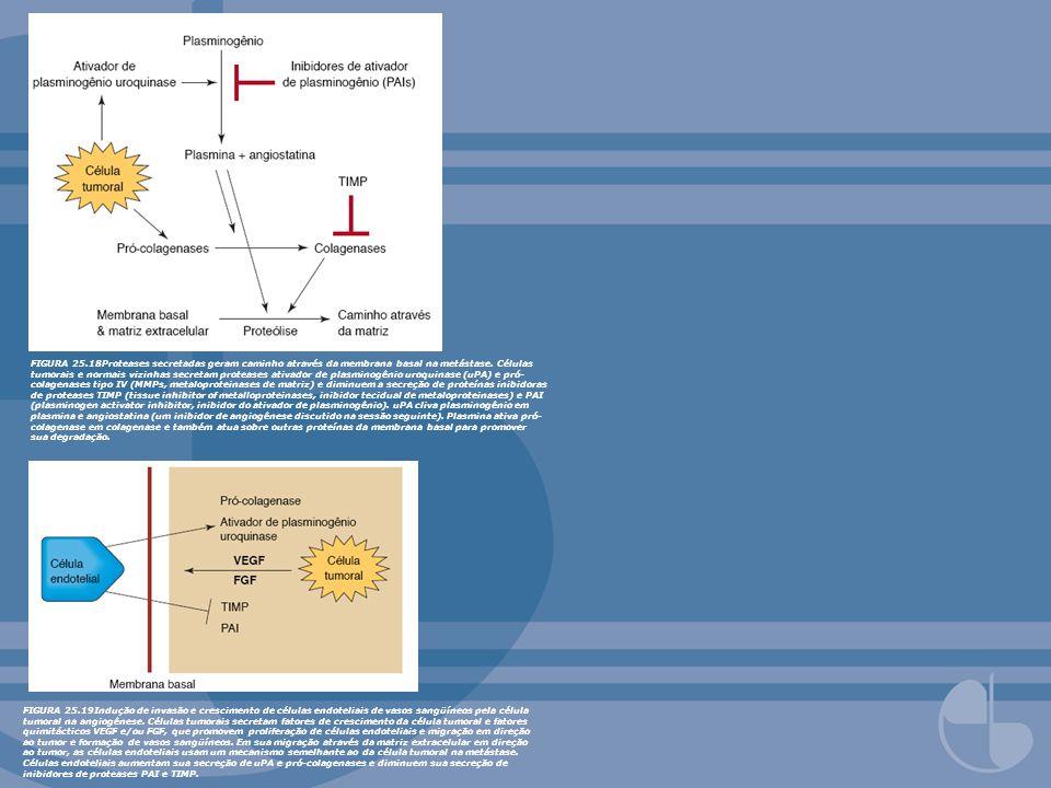FIGURA 25.18Proteases secretadas geram caminho através da membrana basal na metástase. Células tumorais e normais vizinhas secretam proteases ativador de plasminogênio uroquinase (uPA) e pró-colagenases tipo IV (MMPs, metaloproteinases de matriz) e diminuem a secreção de proteínas inibidoras de proteases TIMP (tissue inhibitor of metalloproteinases, inibidor tecidual de metaloproteinases) e PAI (plasminogen activator inhibitor, inibidor do ativador de plasminogênio). uPA cliva plasminogênio em plasmina e angiostatina (um inibidor de angiogênese discutido na sessão seguinte). Plasmina ativa pró-colagenase em colagenase e também atua sobre outras proteínas da membrana basal para promover sua degradação.