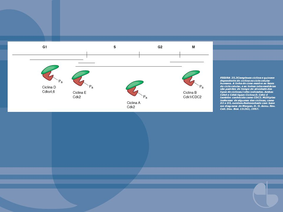 FIGURA 25.3Complexos ciclina e quinase dependente de ciclina no ciclo celular humano.