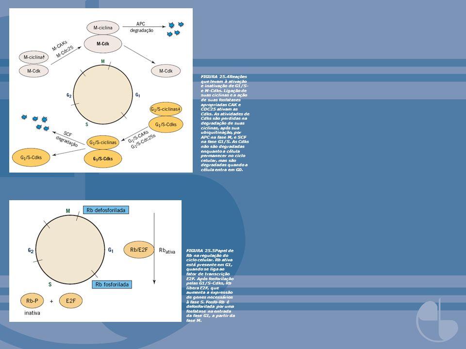 FIGURA 25.4Reações que levam à ativação e inativação de G1/S- e M-Cdks. Ligação de suas ciclinas e a ação de suas fosfatases apropriadas CAK e CDC25 ativam as Cdks. As atividades de Cdks são perdidas na degradação de suas ciclinas, após sua ubiquitinação, por APC na fase M, e SCF na fase G1/S. As Cdks não são degradadas enquanto a célula permanecer no ciclo celular, mas são degradadas quando a célula entra em G0.