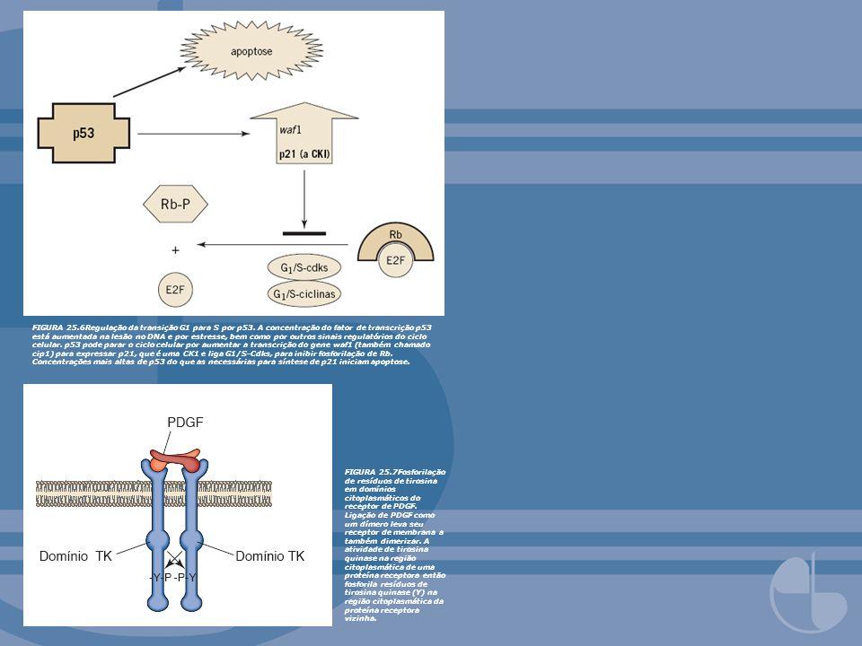 FIGURA 25. 6Regulação da transição G1 para S por p53
