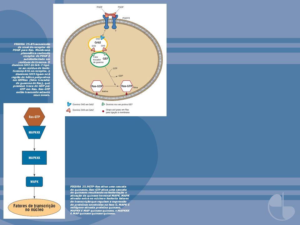 FIGURA 25. 8Transmissão de sinal do receptor de PDGF para Ras