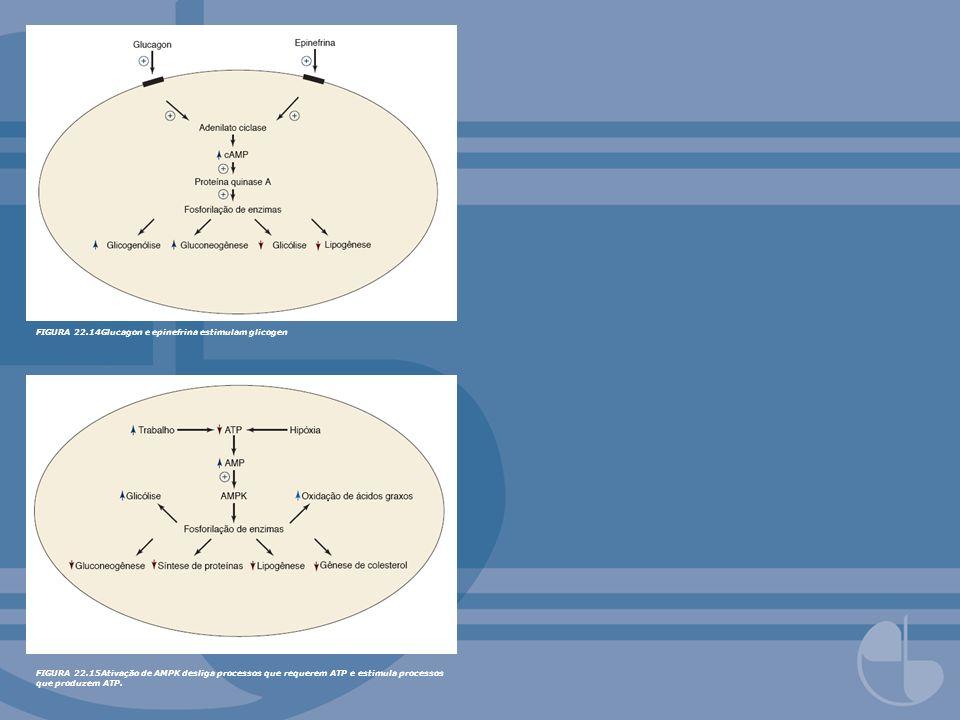 FIGURA 22.14Glucagon e epinefrina estimulam glicogen
