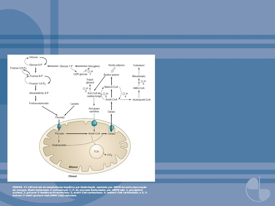 FIGURA 22.18Controle do metabolismo hepático por fosforilação mediada por AMPK durante deprivação de energia.