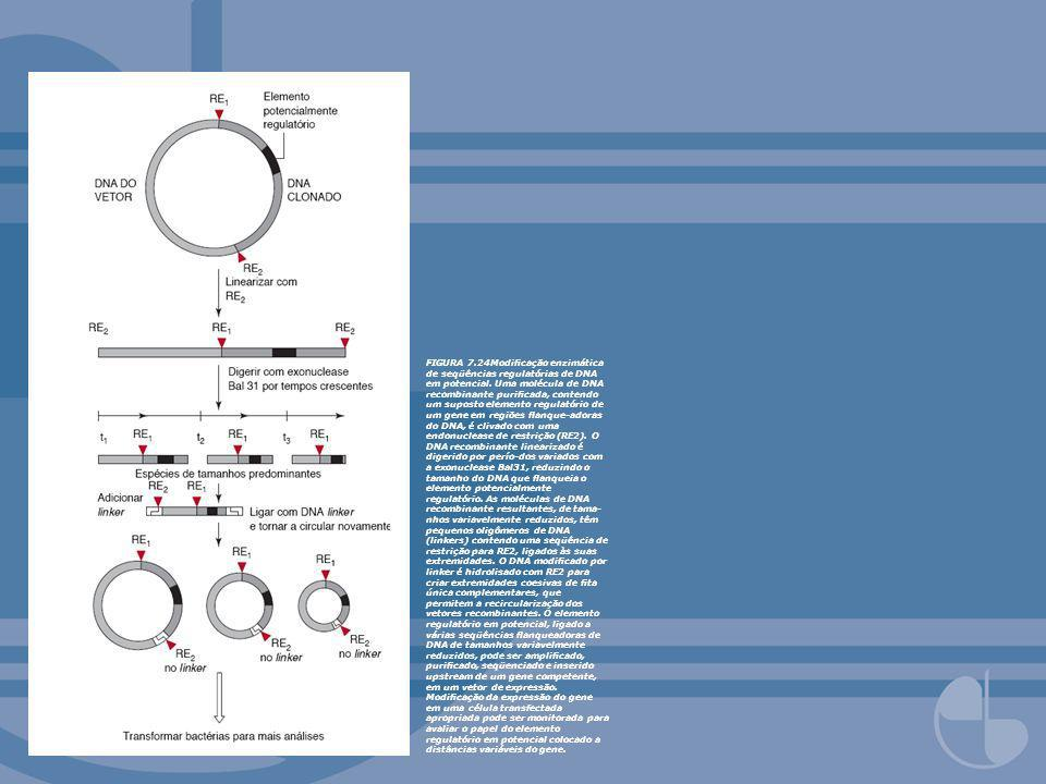FIGURA 7.24Modificação enzimática de seqüências regulatórias de DNA em potencial.
