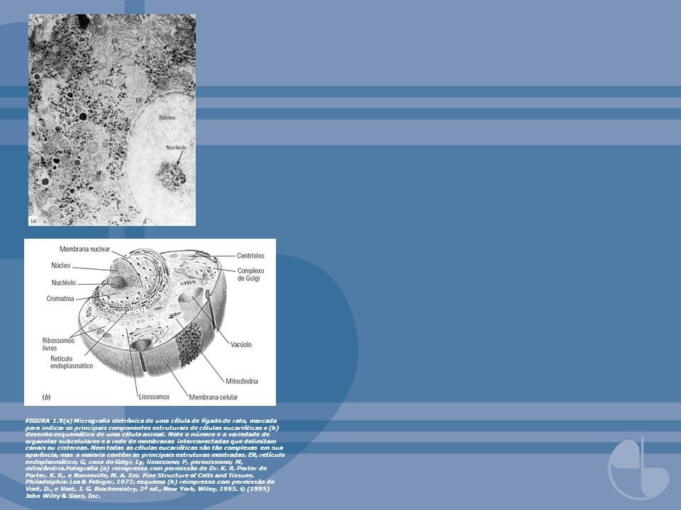 FIGURA 1.9(a) Micrografia eletrônica de uma célula de fígado de rato, marcada para indicar os principais componentes estruturais de células eucarióticas e (b) desenho esquemático de uma célula animal.