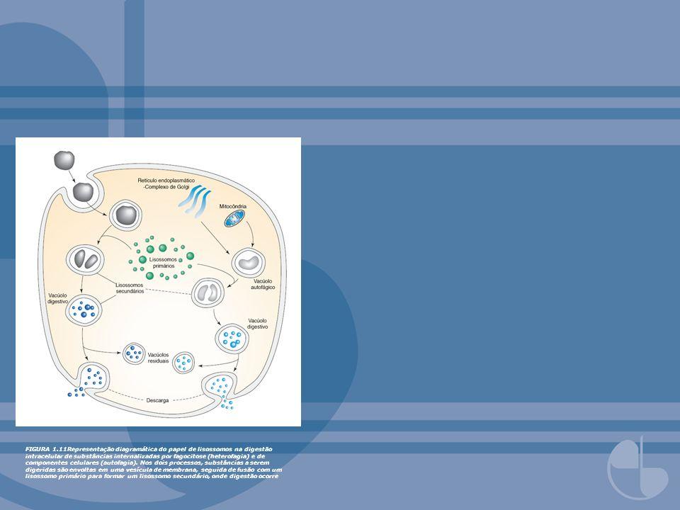 FIGURA 1.11Representação diagramática do papel de lisossomos na digestão intracelular de substâncias internalizadas por fagocitose (heterofagia) e de componentes celulares (autofagia).