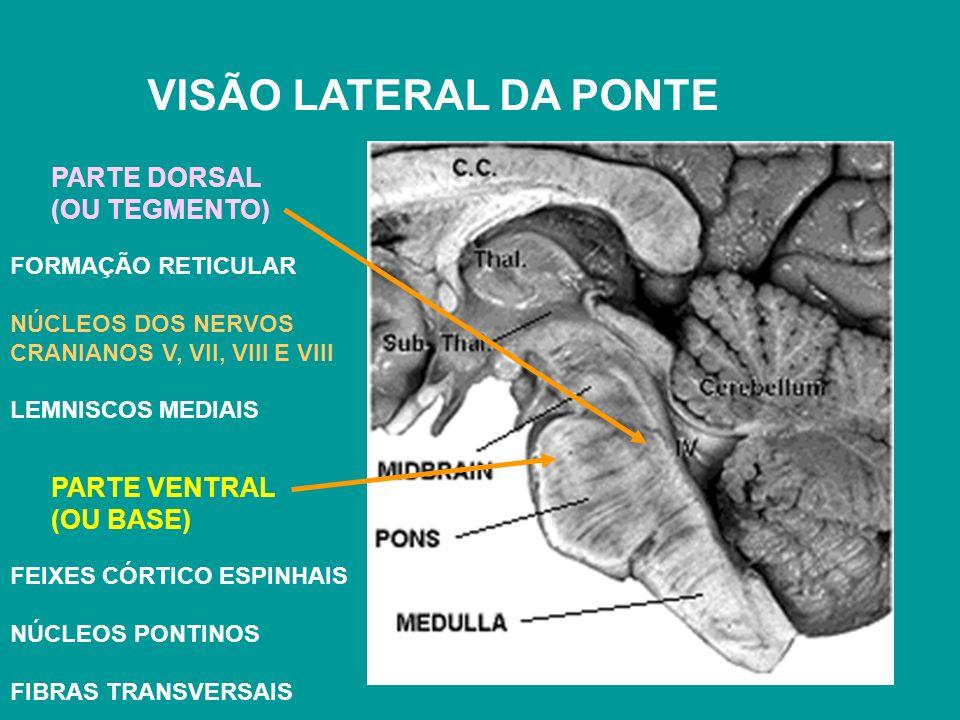 VISÃO LATERAL DA PONTE PARTE DORSAL (OU TEGMENTO) PARTE VENTRAL