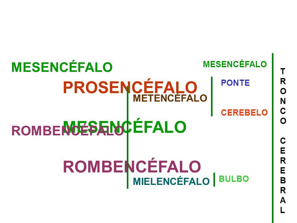 PROSENCÉFALO MESENCÉFALO ROMBENCÉFALO MESENCÉFALO ROMBENCÉFALO