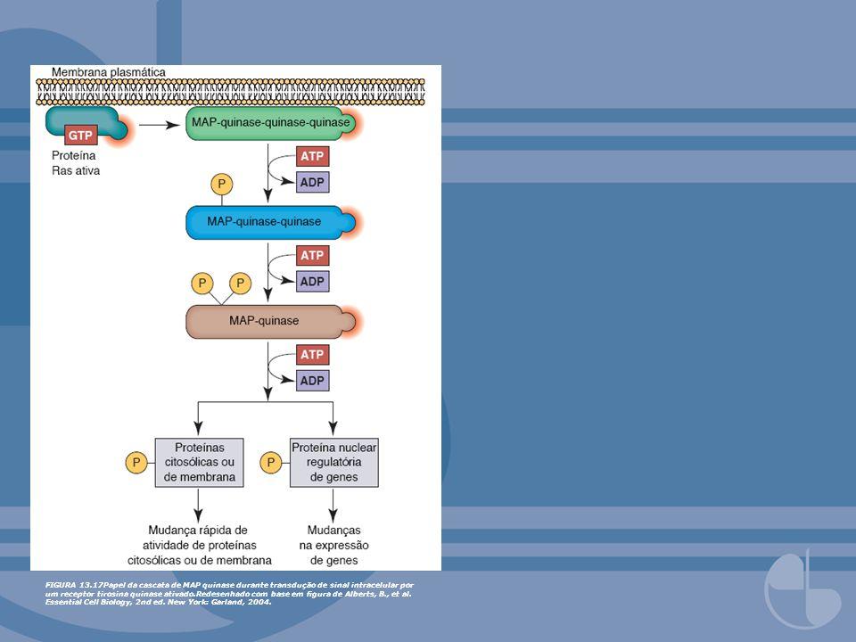 FIGURA 13.17Papel da cascata de MAP quinase durante transdução de sinal intracelular por um receptor tirosina quinase ativado.Redesenhado com base em figura de Alberts, B., et al.