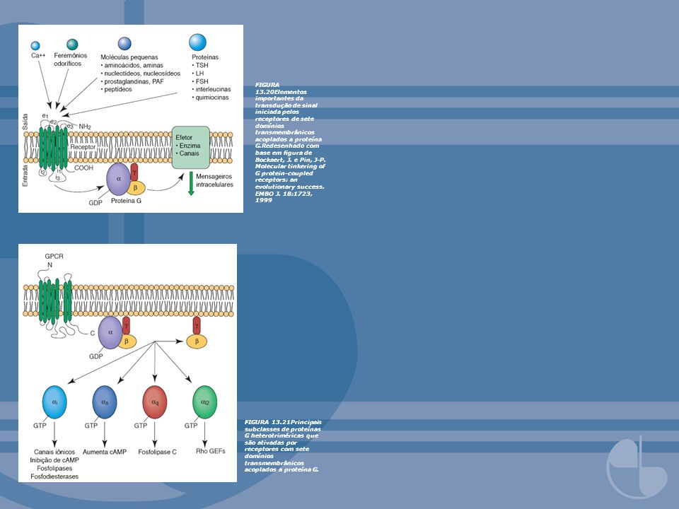 FIGURA 13.20Elementos importantes da transdução de sinal iniciada pelos receptores de sete domínios transmembrânicos acoplados a proteína G.Redesenhado com base em figura de Bockaert, J. e Pin, J-P. Molecular tinkering of G protein-coupled receptors: an evolutionary success. EMBO J. 18:1723, 1999