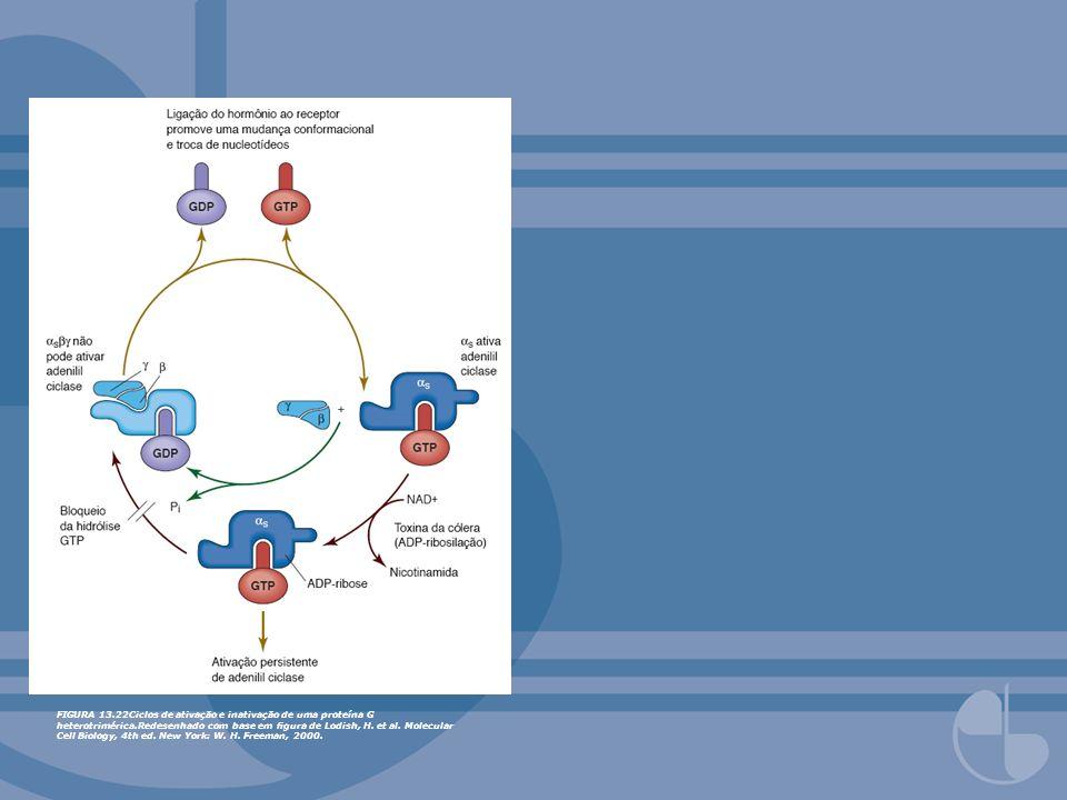 FIGURA 13.22Ciclos de ativação e inativação de uma proteína G heterotrimérica.Redesenhado com base em figura de Lodish, H.