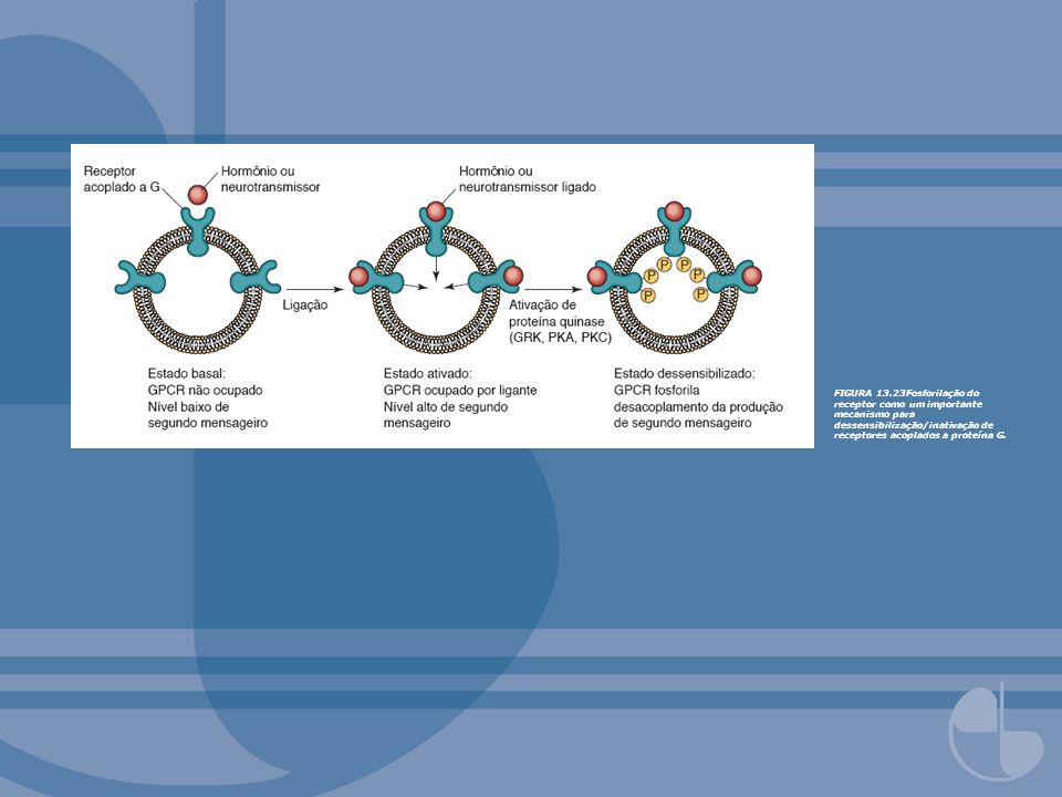 FIGURA 13.23Fosforilação do receptor como um importante mecanismo para dessensibilização/inativação de receptores acoplados a proteína G.