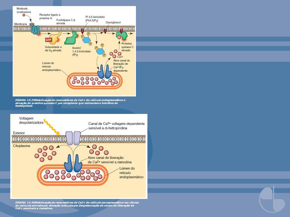 FIGURA 13.29Mobilização de reservatórios de Ca2+ do retículo endoplasmático e ativação de proteína quinase C por receptores que estimulam a hidrólise de fosfolipídeos