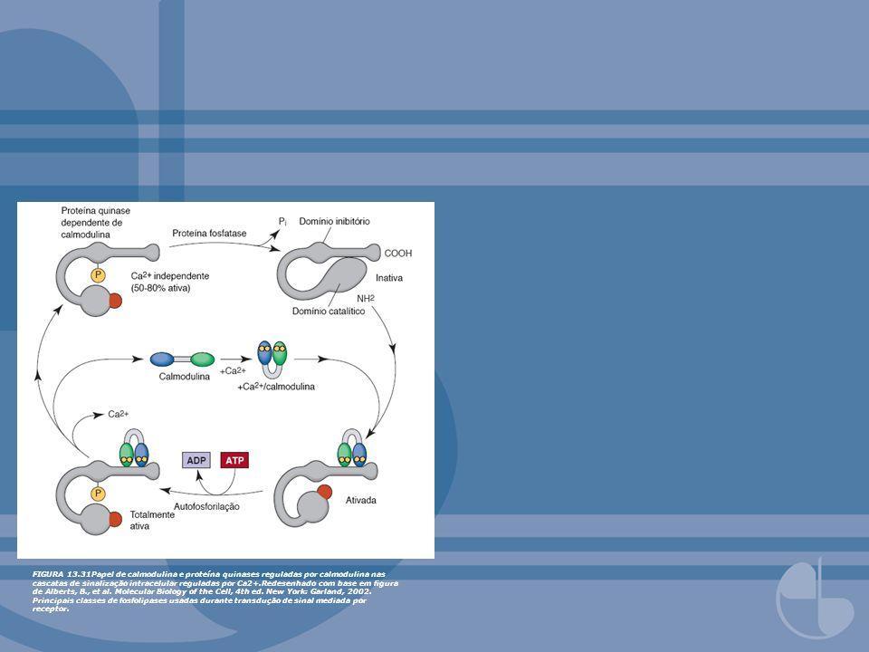 FIGURA 13.31Papel de calmodulina e proteína quinases reguladas por calmodulina nas cascatas de sinalização intracelular reguladas por Ca2+.Redesenhado com base em figura de Alberts, B., et al.