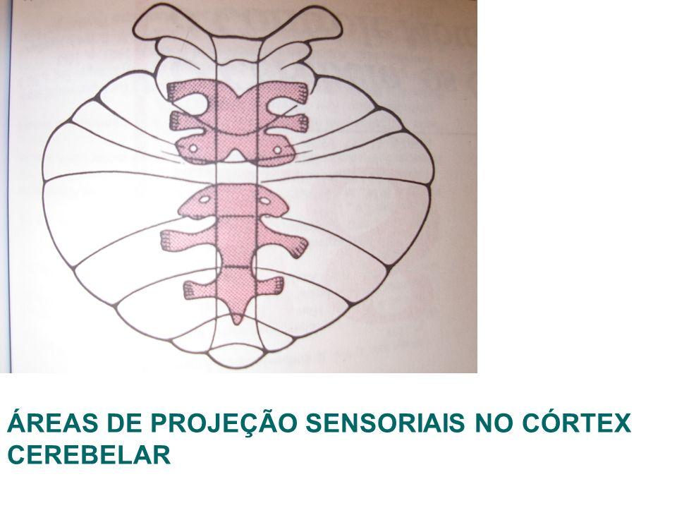 ÁREAS DE PROJEÇÃO SENSORIAIS NO CÓRTEX