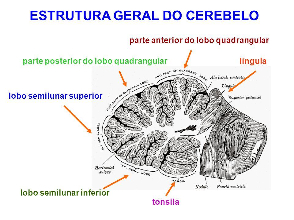 ESTRUTURA GERAL DO CEREBELO