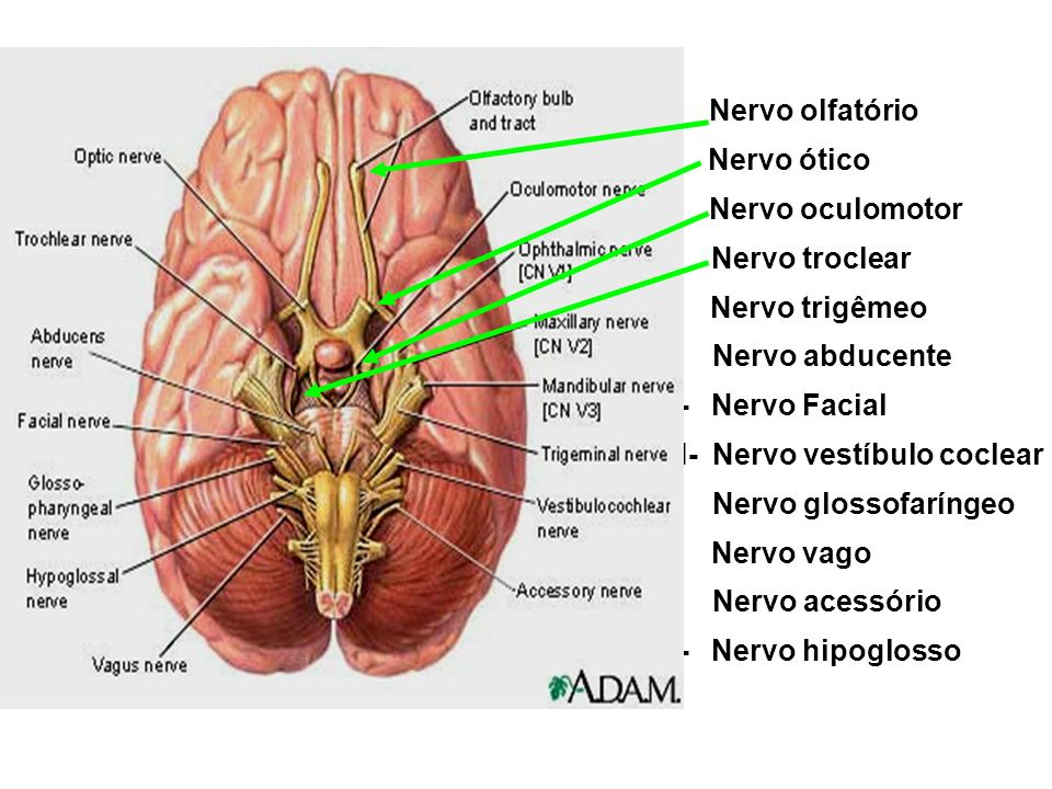I- Nervo olfatório II- Nervo ótico. III- Nervo oculomotor. IV- Nervo troclear. V- Nervo trigêmeo.