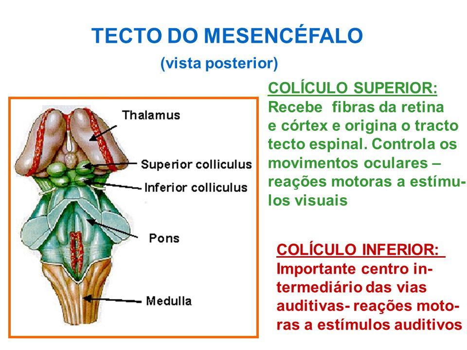 TECTO DO MESENCÉFALO (vista posterior) COLÍCULO SUPERIOR: