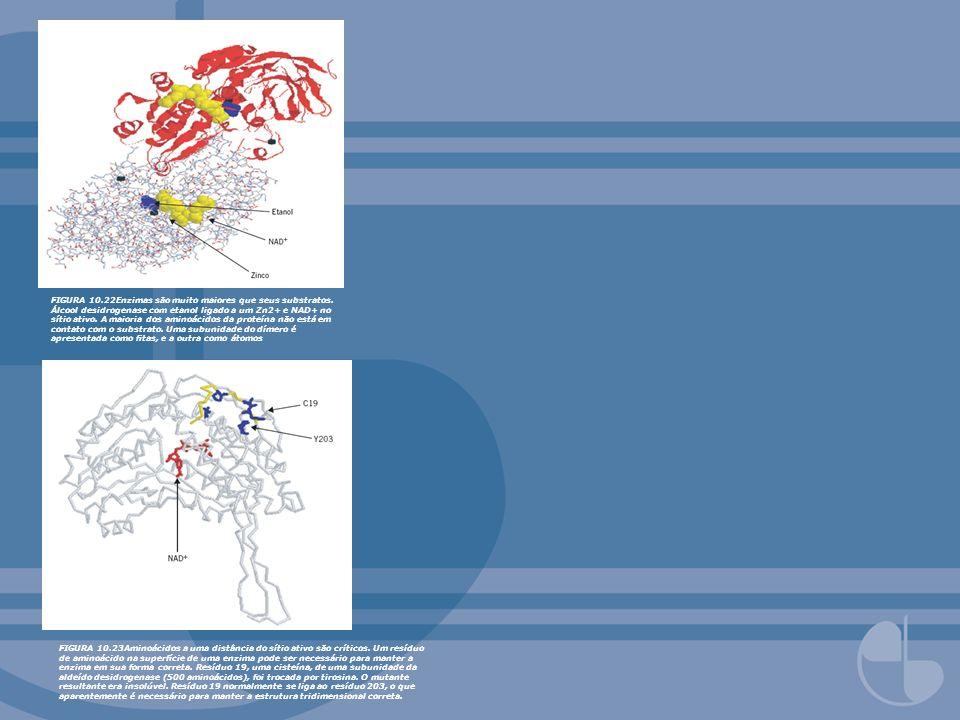 FIGURA 10. 22Enzimas são muito maiores que seus substratos
