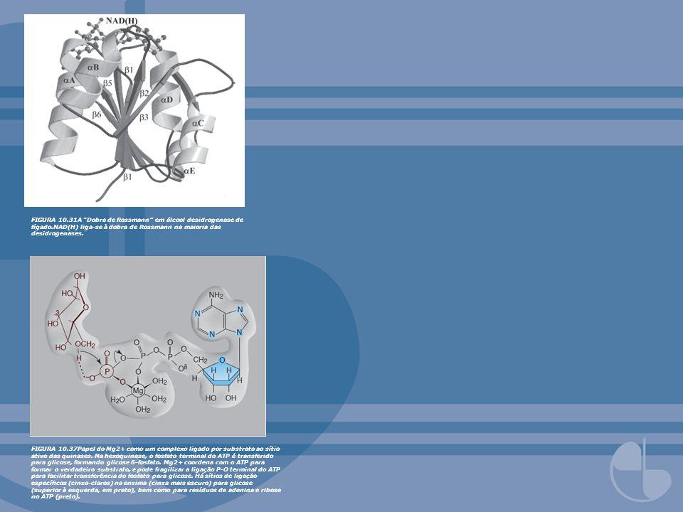FIGURA 10. 31A Dobra de Rossmann em álcool desidrogenase de fígado