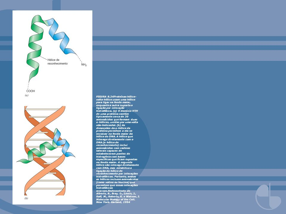 FIGURA 8.24Proteínas hélice-volta-hélice usam uma hélice para ligar na fenda maior, enquanto a outra suporta a ligação por interação hidrofóbica.