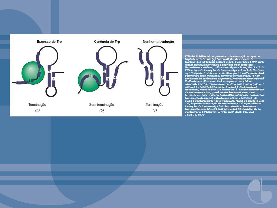 FIGURA 8. 10Modelo esquemático de atenuação no operon triptofano de E