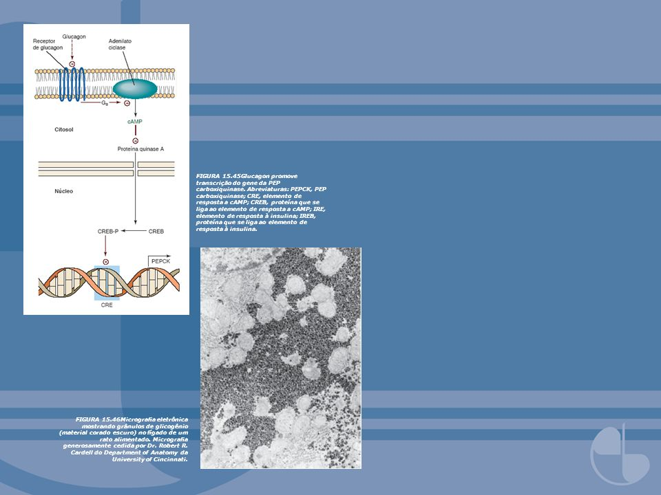 FIGURA 15.45Glucagon promove transcrição do gene da PEP carboxiquinase. Abreviaturas: PEPCK, PEP carboxiquinase; CRE, elemento de resposta a cAMP; CREB, proteína que se liga ao elemento de resposta a cAMP; IRE, elemento de resposta à insulina; IREB, proteína que se liga ao elemento de resposta à insulina.