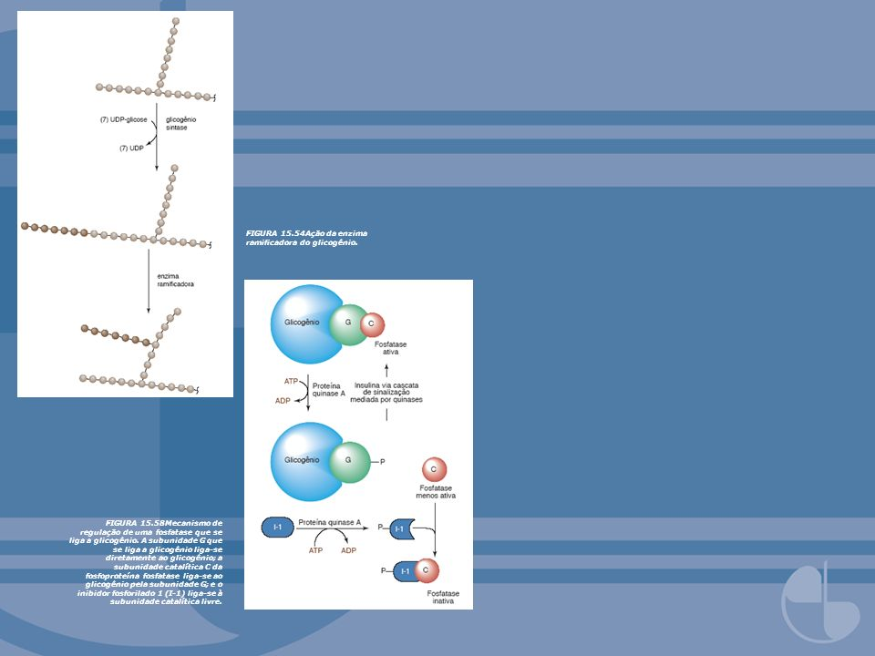 FIGURA 15.54Ação da enzima ramificadora do glicogênio.
