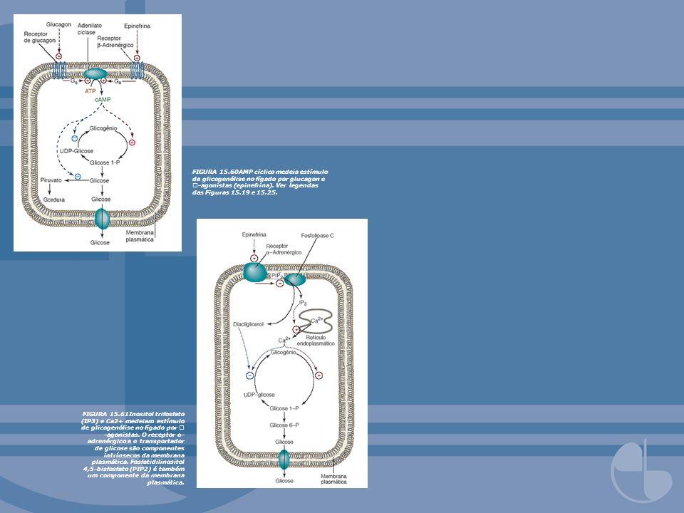 FIGURA 15.60AMP cíclico medeia estímulo da glicogenólise no fígado por glucagon e -agonistas (epinefrina). Ver legendas das Figuras 15.19 e 15.25.