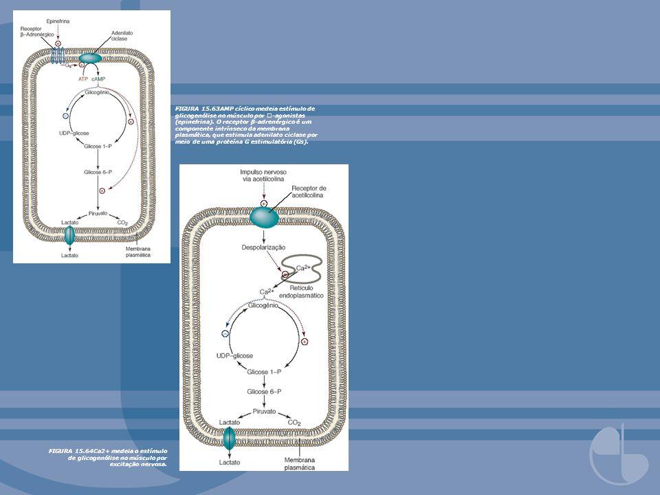 FIGURA 15.63AMP cíclico medeia estímulo de glicogenólise no músculo por -agonistas (epinefrina). O receptor β-adrenérgico é um componente intrínseco da membrana plasmática, que estimula adenilato ciclase por meio de uma proteína G estimulatória (Gs).
