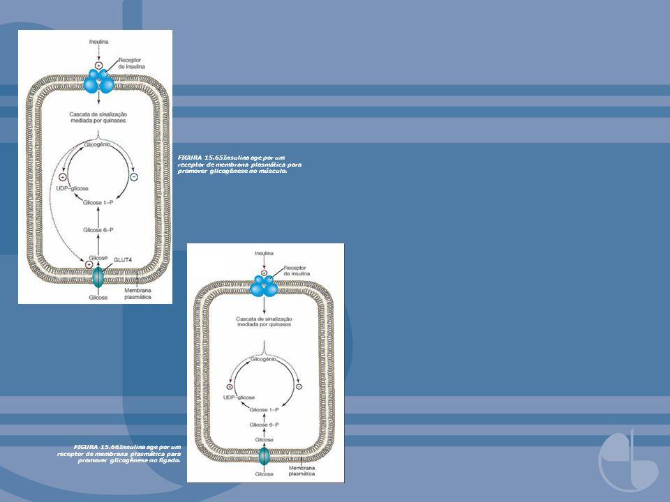 FIGURA 15.65Insulina age por um receptor de membrana plasmática para promover glicogênese no músculo.