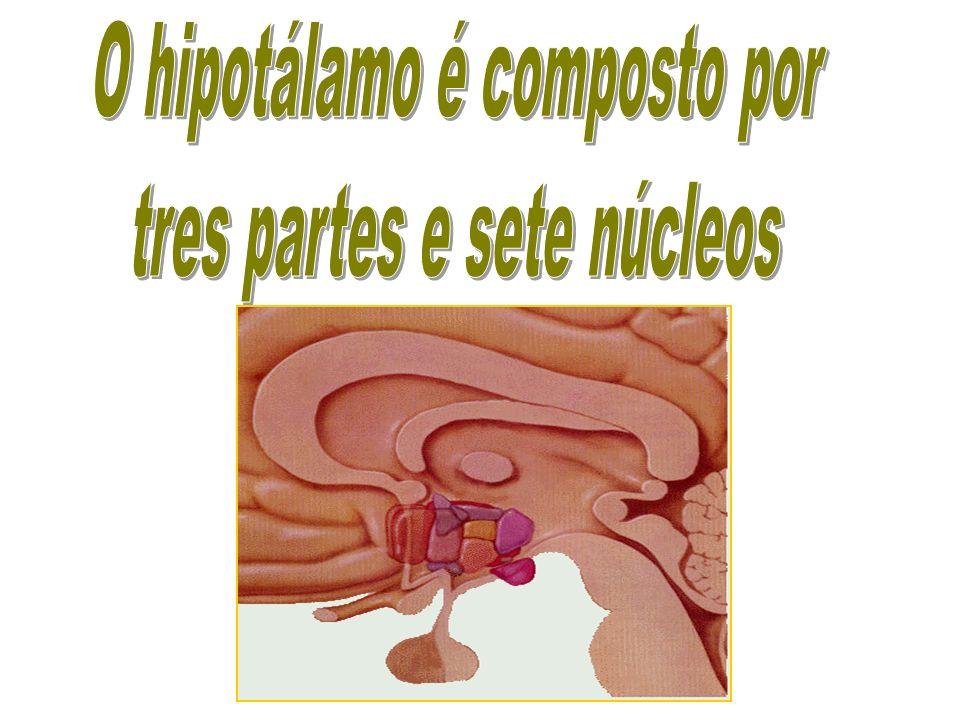 O hipotálamo é composto por tres partes e sete núcleos