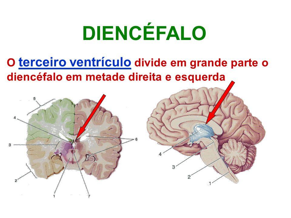 DIENCÉFALO O terceiro ventrículo divide em grande parte o