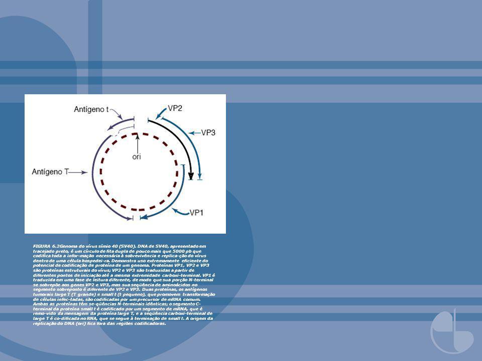 FIGURA 6. 2Genoma do vírus símio 40 (SV40)