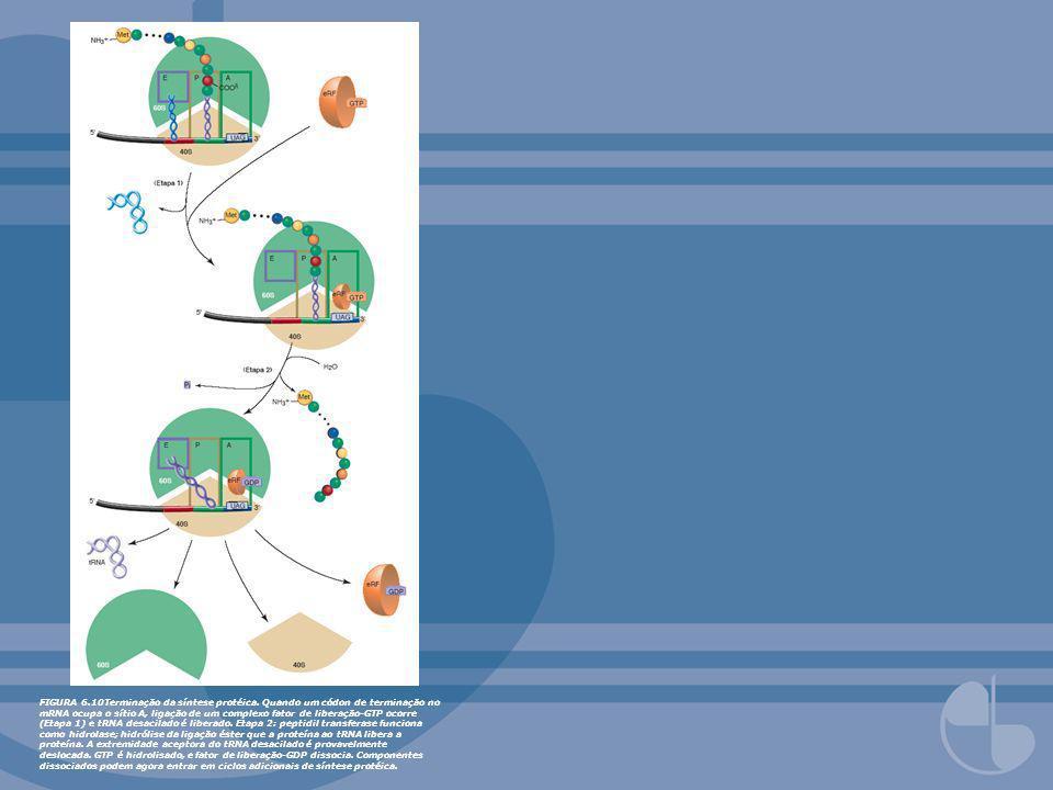 FIGURA 6. 10Terminação da síntese protéica