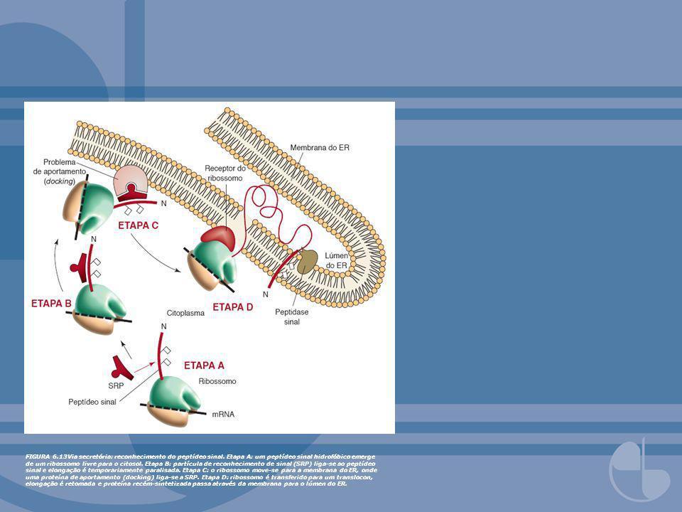 FIGURA 6. 13Via secretória: reconhecimento do peptídeo sinal