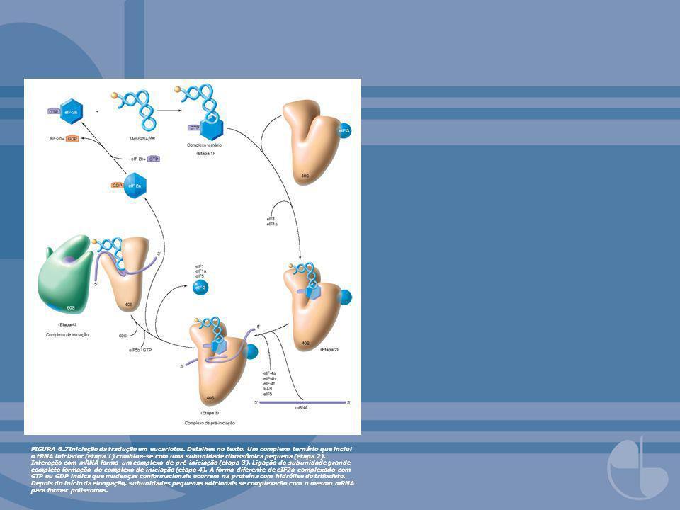 FIGURA 6. 7Iniciação da tradução em eucariotos. Detalhes no texto