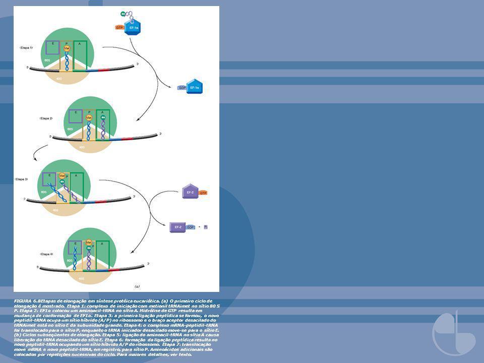 FIGURA 6. 8Etapas de elongação em síntese protéica eucariótica