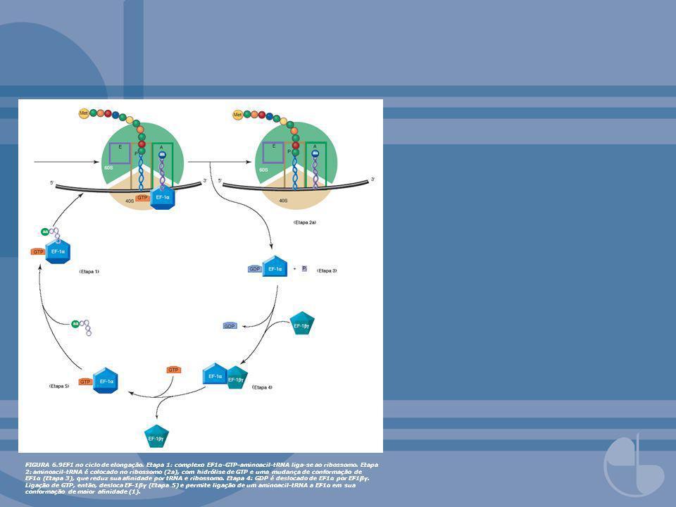 FIGURA 6. 9EF1 no ciclo de elongação