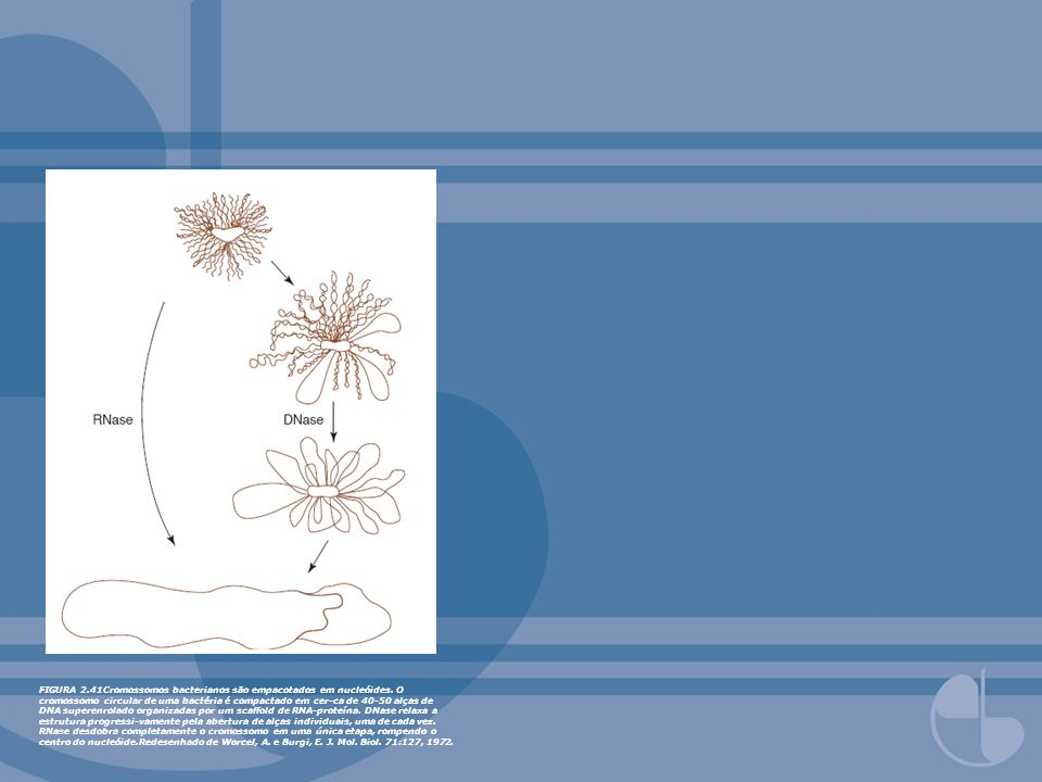 FIGURA 2. 41Cromossomos bacterianos são empacotados em nucleóides
