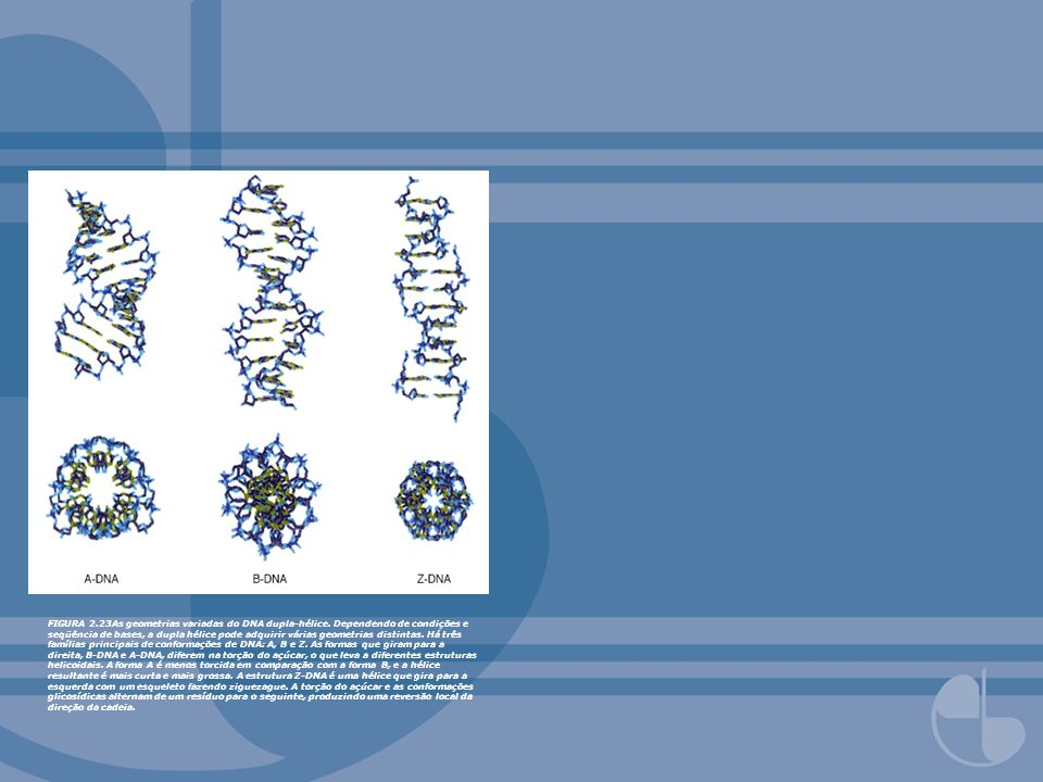FIGURA 2. 23As geometrias variadas do DNA dupla-hélice