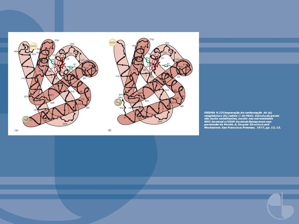 FIGURA 9.22Comparação da conformação de (a) mioglobina e (b) cadeia  de HbA1.