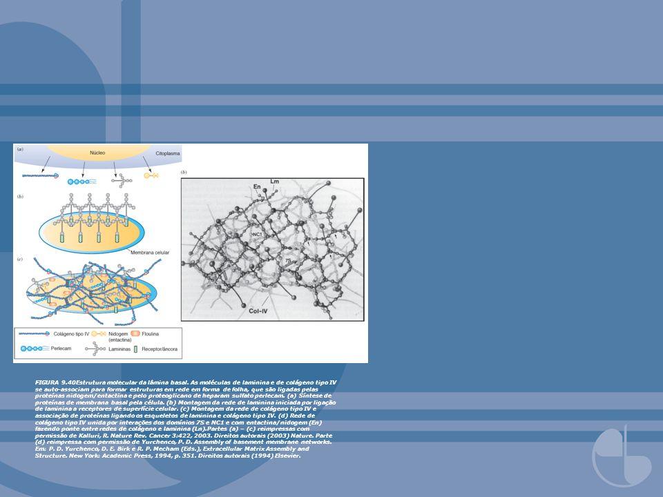 FIGURA 9. 40Estrutura molecular da lâmina basal
