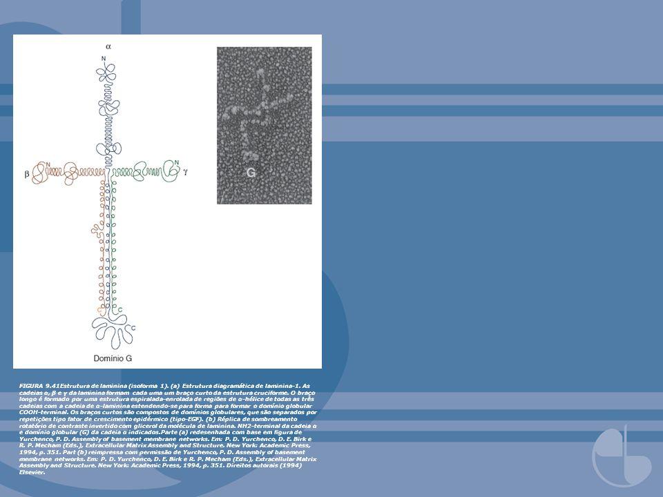 FIGURA 9. 41Estrutura de laminina (isoforma 1)