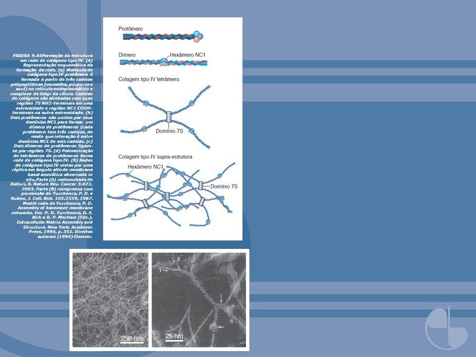 FIGURA 9. 44Formação da estrutura em rede de colágeno tipo IV