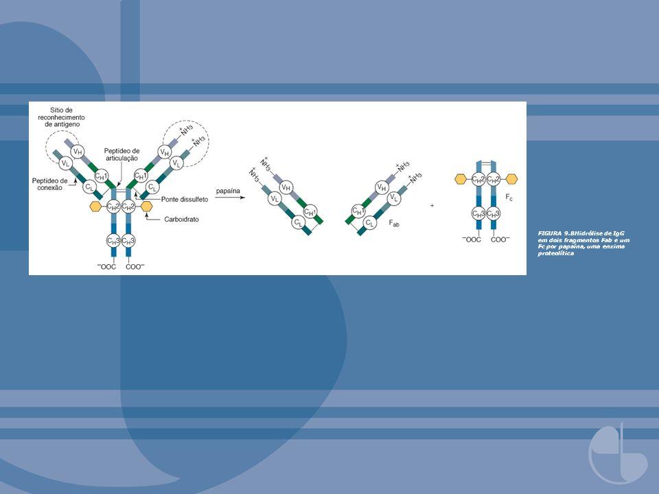FIGURA 9.8Hidrólise de IgG em dois fragmentos Fab e um Fc por papaína, uma enzima proteolítica