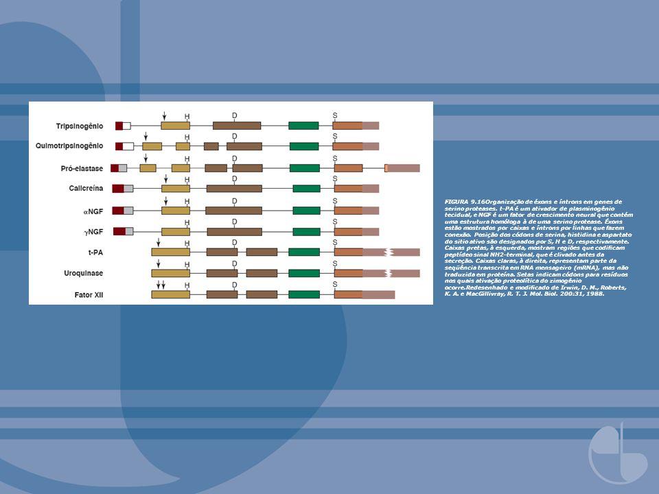 FIGURA 9.16Organização de éxons e íntrons em genes de serino proteases.