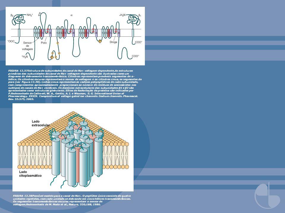 FIGURA 12.37Estrutura de subunidades do canal de Na+ voltagem-dependente.As estruturas primárias das subunidades do canal de Na+ voltagem-dependente são ilustradas como um diagrama de dobramento transmembrânico. Cilindros representam prováveis segmentos de α-hélice. Os cilindros escuros representam o sensor de voltagem e os cilindros cinza, os segmentos do poro (ver Figura 12.38). Linhas cinza representam as cadeias polipeptídicas de cada subunidade, com comprimentos aproximadamente proporcionais ao número de resíduos de aminoácidos nos subtipos de canais de Na+ cerebrais. Os domínios extracelulares das subunidades β1 e β2 são apresentados como estruturas globulares. Sítios de fosforilação da proteína são indicados por P.Redesenhado de Catterall, W. A., Goldin, A. I. e Waxman, S. G. International Union of Pharmacology. XXXIX. Compendium of voltage-gated ion channels: Sodium channels. Pharmacol. Rev. 55:575, 2003.