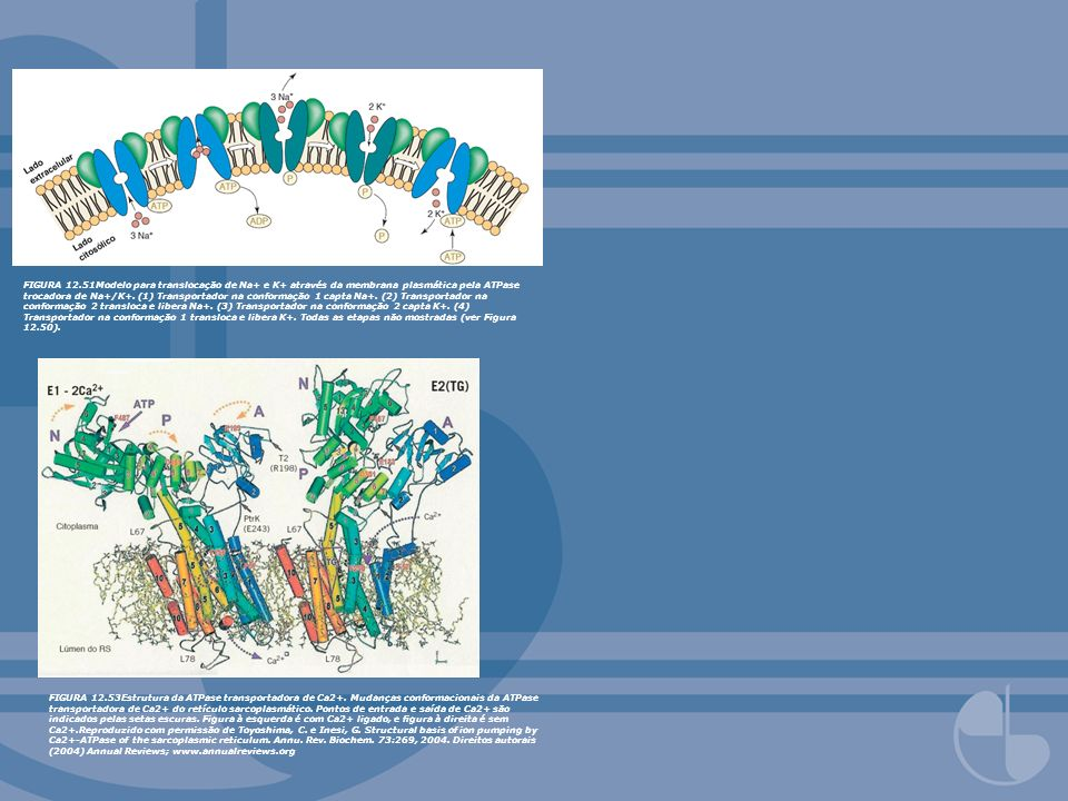 FIGURA 12.51Modelo para translocação de Na+ e K+ através da membrana plasmática pela ATPase trocadora de Na+/K+. (1) Transportador na conformação 1 capta Na+. (2) Transportador na conformação 2 transloca e libera Na+. (3) Transportador na conformação 2 capta K+. (4) Transportador na conformação 1 transloca e libera K+. Todas as etapas não mostradas (ver Figura 12.50).