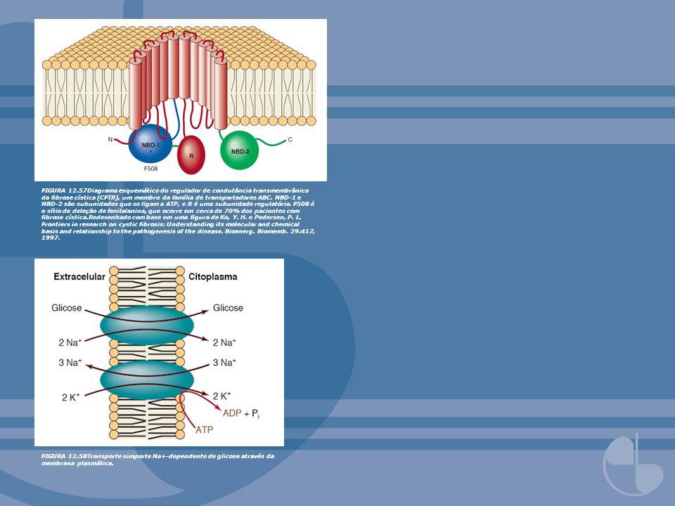 FIGURA 12.57Diagrama esquemático do regulador de condutância transmembrânica da fibrose cística (CFTR), um membro da família de transportadores ABC. NBD-1 e NBD-2 são subunidades que se ligam a ATP, e R é uma subunidade regulatória. F508 é o sítio de deleção de fenilalanina, que ocorre em cerca de 70% dos pacientes com fibrose cística.Redesenhado com base em uma figura de Ko, Y. H. e Pedersen, P. L. Frontiers in research on cystic fibrosis: Understanding its molecular and chemical basis and relationship to the pathogenesis of the disease. Bioenerg. Biomemb. 29:417, 1997.